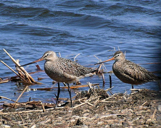 Marbled Godwits (96259646)