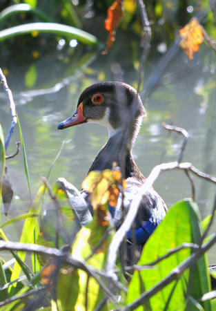 Wood Duck (Immature)
